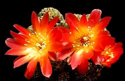 sulcorebutia cactus